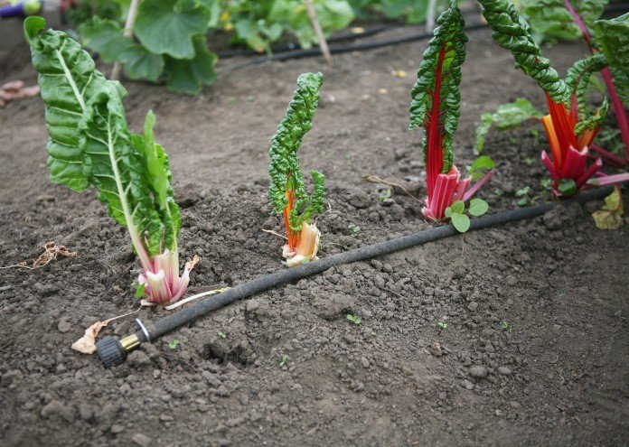 {In the Garden} Rainbow Chard