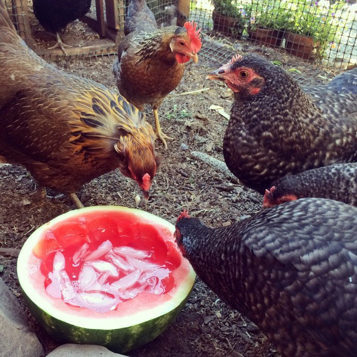 Helping Your Chickens Beat the Heat