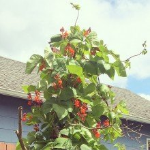 {In the Garden} How to Grow Runner Beans
